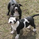 Bully pitbulls for sale| Gotti dogs | razors edge dogs