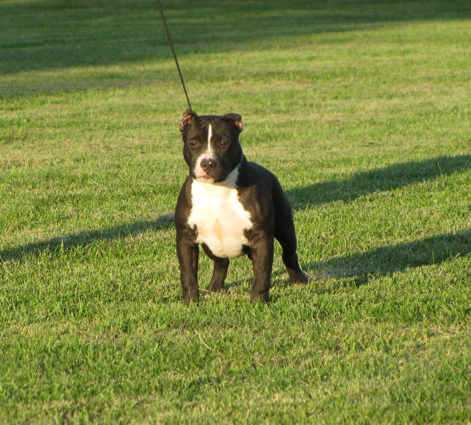 Bully Gotti Pitbull Puppy For Sale Bully Pit For Sale Steelhead