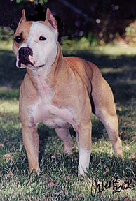 About Bully Style Pits - Steelhead Bullies