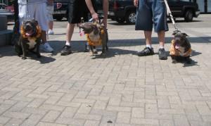 PItbulls walking together