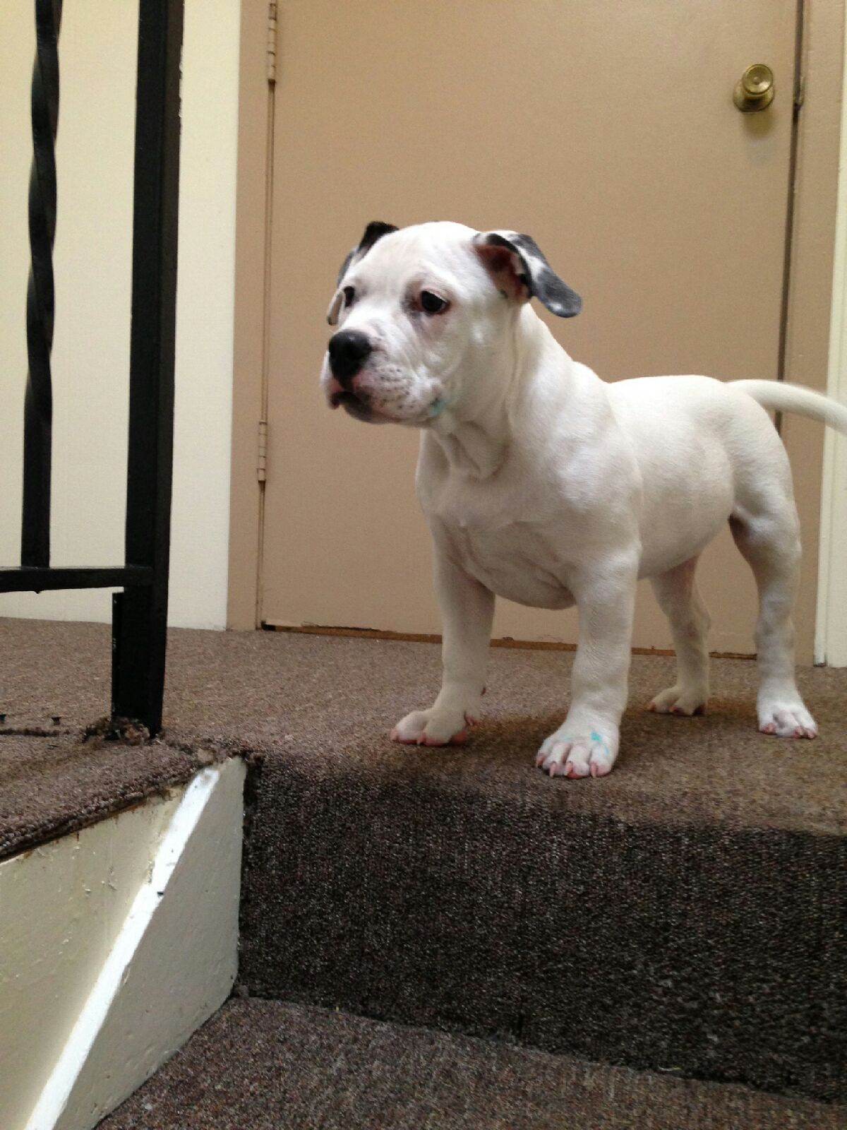 12 week old pocket bully for sale