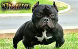 What is an exotic bully