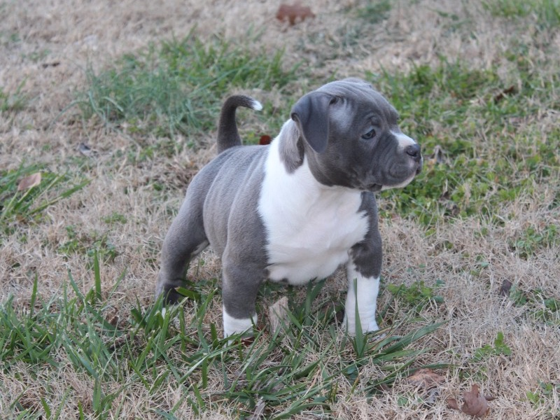 Steelhead Bullies - Quality Dogs for Quality Homes